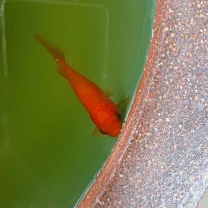 金魚 vs. 鍋