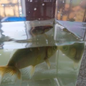 金魚の浮き気味 その後