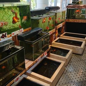 金魚 和金@カワセミ水族館