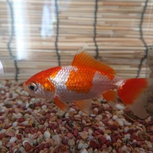 金魚 赤色が退色した原因は