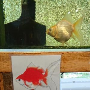 金魚 玉サバ@カワセミ水族館