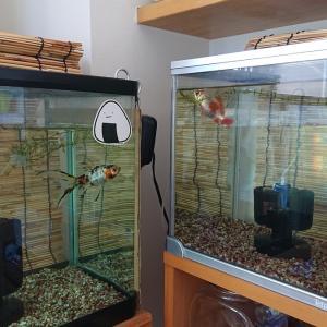 金魚水槽 コケ化の違い