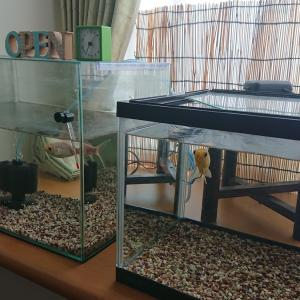 金魚 濃い青水 & デトックス