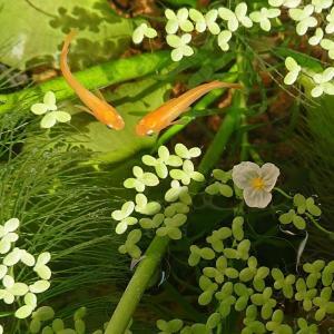 日立 シーバーズカフェ アナカリスの花