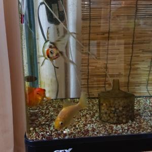 金魚 3年目の水槽で初同居