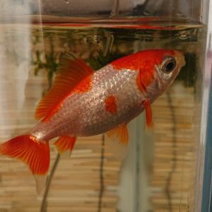 金魚 真夏に2ヶ月もつ水質