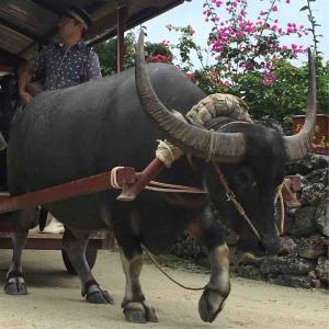竹富島の水牛車 (*´ω`*)