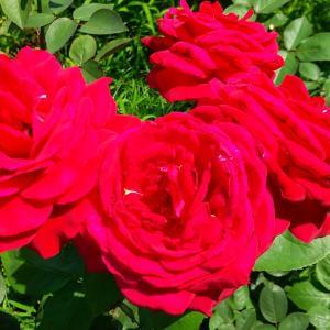 靭公園の薔薇 #バラ #ばら #花 #薔薇 #薔薇好き #靭公園 #大阪 #癒し #花好き