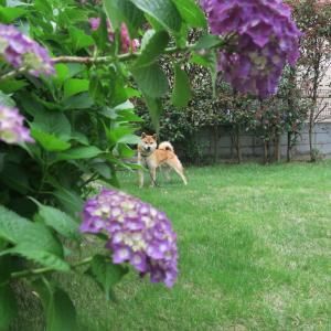 6月の紫陽花と渡部健