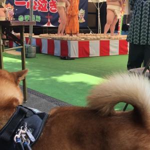 柴犬と泣き相撲(熊野宮)