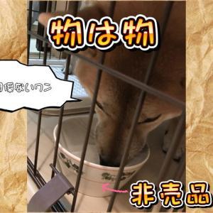 「物は物」六花亭の非売品皿を遠慮なしに使う犬に感服するの巻