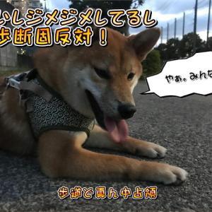 散歩途中に散歩拒否の柴犬の巻