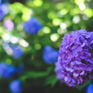 【写真あり】紫陽花を撮りに行くwith Fujifilm
