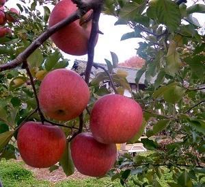 アップルパイや干しリンゴを作った!