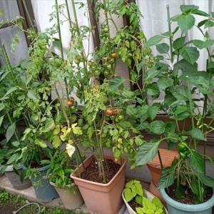 婆様の鉢植え野菜
