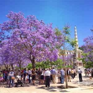 ハカランダ色 青紫に染まるマラガの街