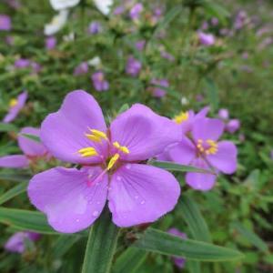 高知 星ヶ丘公園のヒメノボタンと青い睡蓮