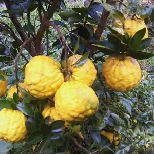 鬼柚子の収穫、チンゲン菜の収穫と植付け、石垣修復の再開~♪