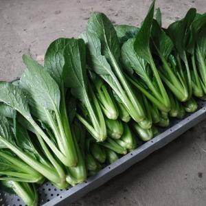 小松菜採り、また切干し大根作り、初挑戦の乾燥パセリ作り~♪