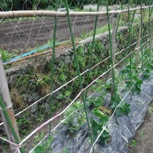 キュウリの垣設置、里芋の葦取り・追肥~♪