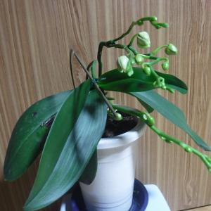 植え替えた胡蝶蘭に蕾、出稼ぎ弁当~♪