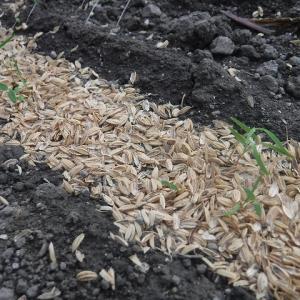 ニンジンが発芽、白菜の種蒔、モロッコ豆など蔓固定~♪