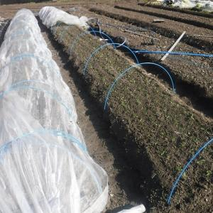 ホウレン草の植付け完了、排水溝が閉塞・復旧工事~♪