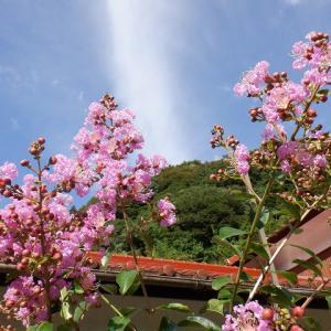 奈良漬け用の酒粕など購入、百日紅(サルスベリ)が咲き始め~♪