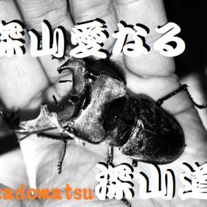 山口県産ミヤマ♂2号機羽化