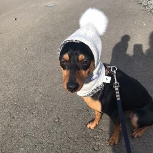 まめ吉、ピコピコ帽子の行方【ピコピコ帽子をつけて散歩に行ってみよう】