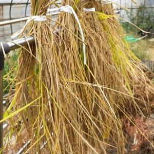 我が家田んぼ【収穫〜脱穀。待ちに待った稲刈りの時!】