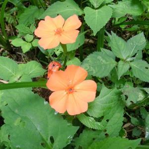 飯南町ふるさとの森で8月にみられる花