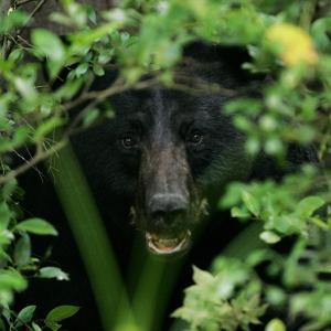 ~ネイチャーガイドのお仕事~【イベント】SAVE JAPANプロジェクトでツキノワグマの棲む森へ行く