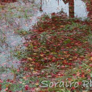 富士五湖に紅葉と野鳥を見に行ってきました。
