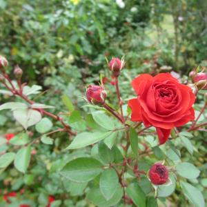 京成バラ園の秋薔薇♪…赤