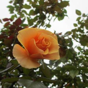 京成バラ園の秋薔薇♪…オレンジ