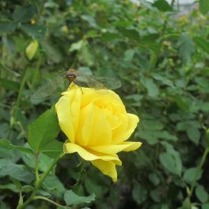 京成バラ園の秋薔薇♪…イエロー