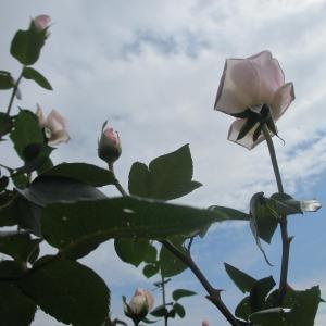 京成バラ園の秋薔薇♪…白、ブルー