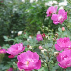 京成バラ園の秋薔薇♪…ピンク
