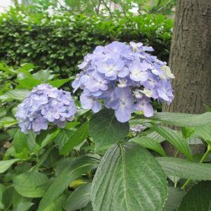 遊歩道の紫陽花♪