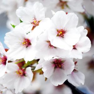 replying「貴女様へ桜便り」