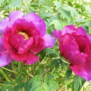 母の涙とお花たち