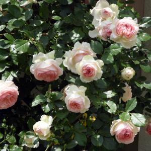 その後の薔薇と、その後のオット