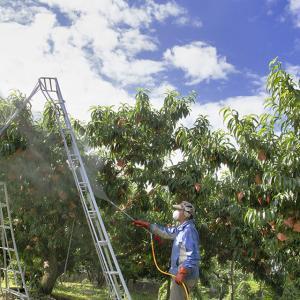 果樹へ薬剤散布