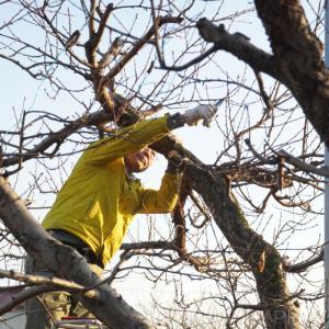 果樹の剪定作業