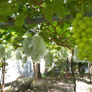 趣味の果樹園 シャインマスカットの収穫