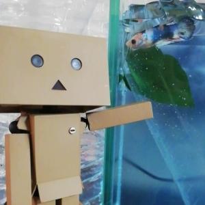 【熱帯魚】ベタのおうちを新築する計画+鯉ベタ君お迎え