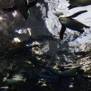京都水族館年間パス利用7回目…空飛んだペンギンくん