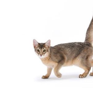 ソマリはどんな性格の猫?特徴・寿命・値段は?