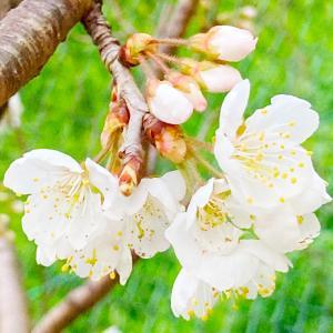 桜咲く LA VIE、満ちる月